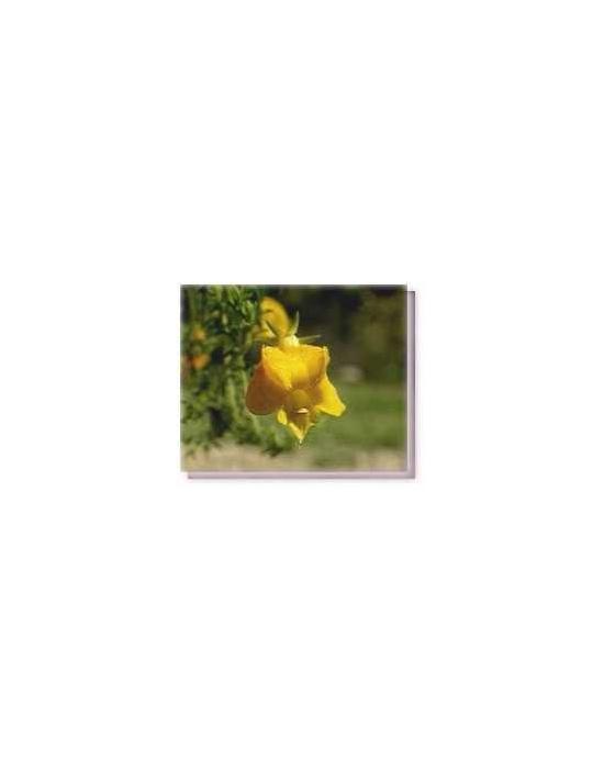 Bachblüten Yellow Leschenaultia Living Essences
