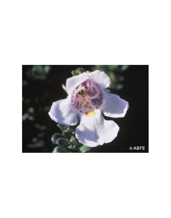 Australische Buschblüten Alpine Mint Bush