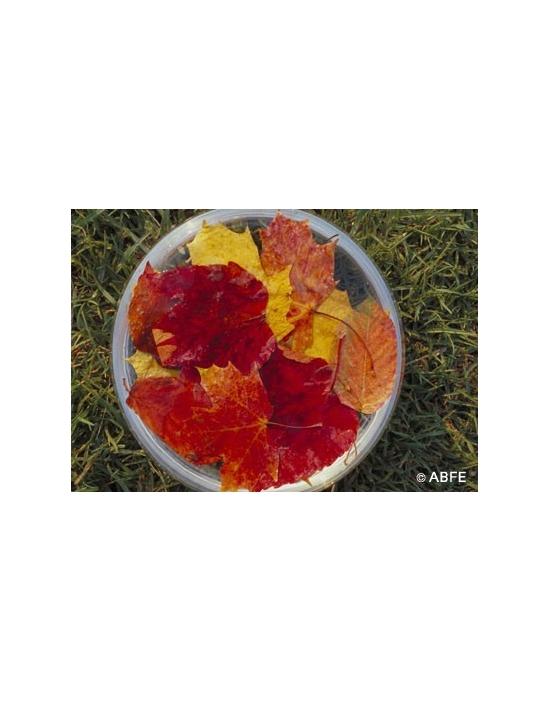 Australische Buschblüten Autumn Leaves