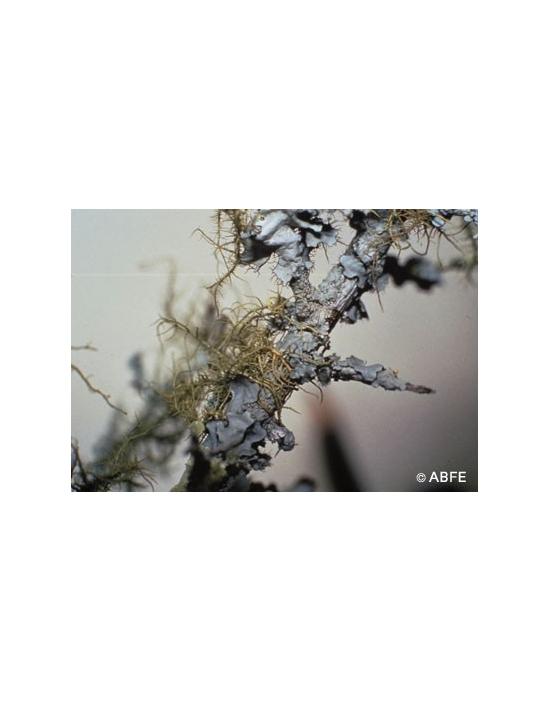 Lichen Flower