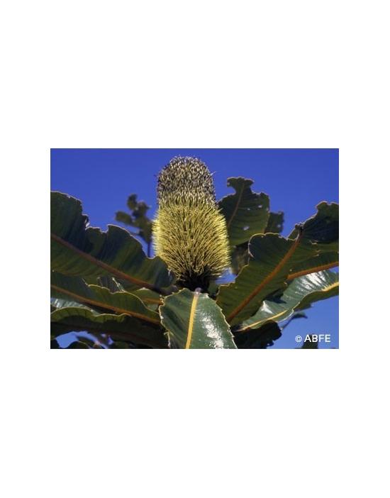 Australische Buschblüten Banksia Robur