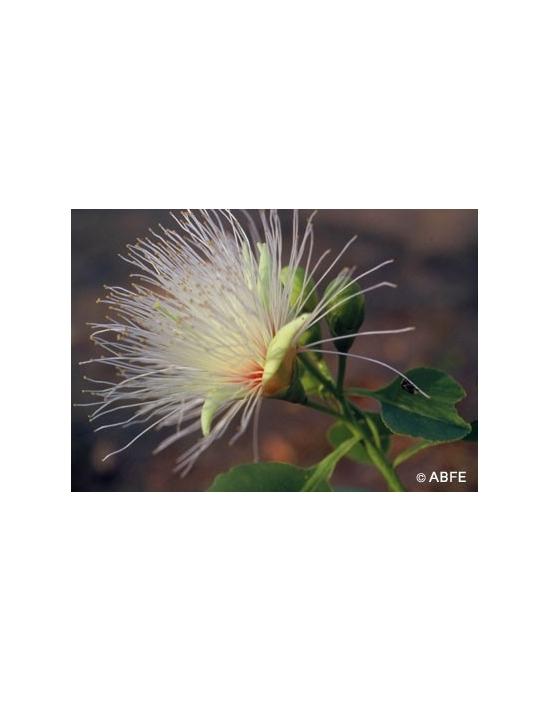 Australische Buschblüten Billy Goat Plum