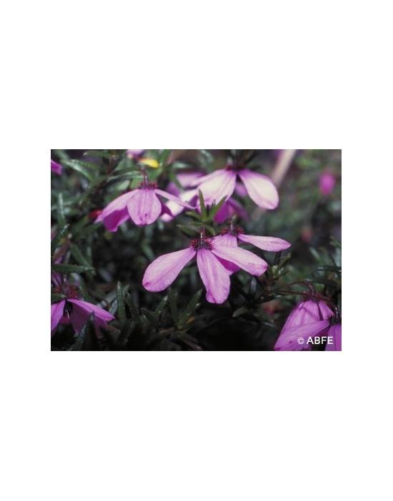 Australische Buschblüten Black Eyed Susan