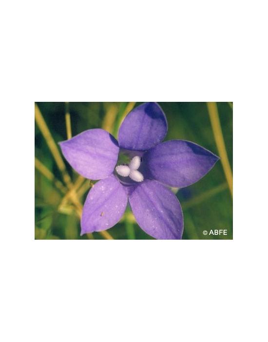 Australische Buschblüten Bluebell