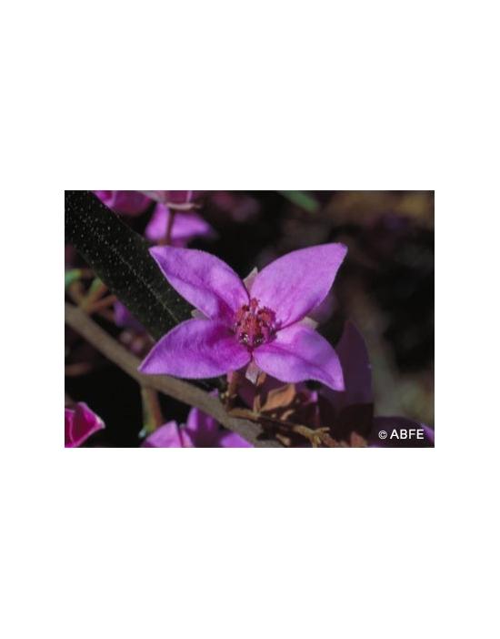 Australische Buschblüten Boronia
