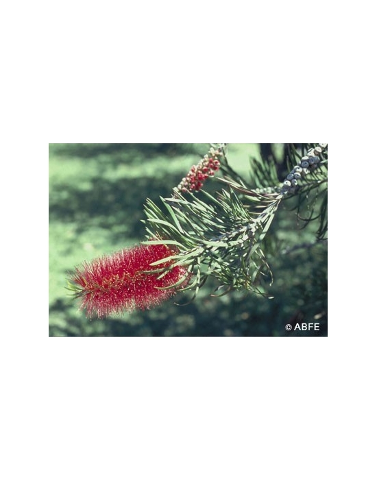 Australische Buschblüten Bottlebrush