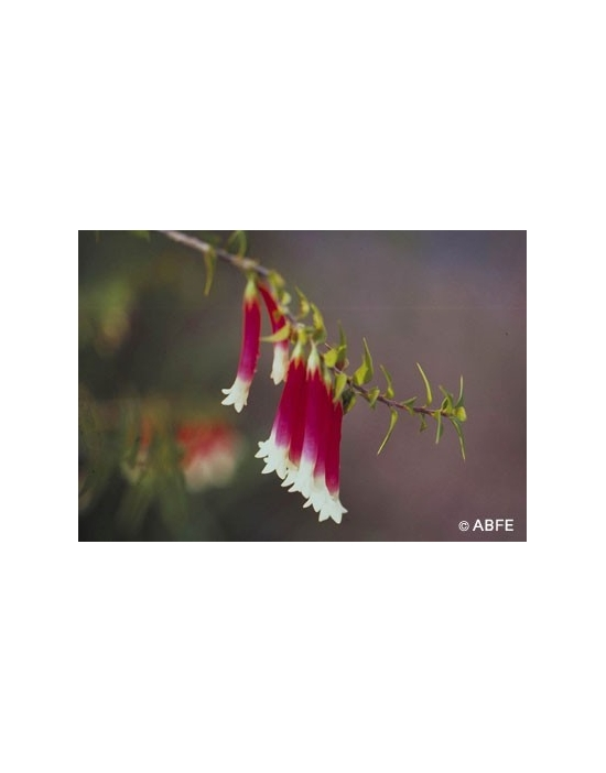 Bush Fuchsia Flower
