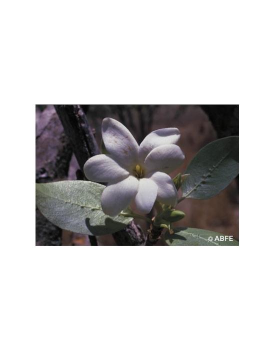 Australische Buschblüten Bush Gardenia