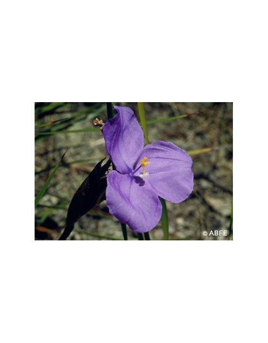 Australische Buschblüten Bush Iris
