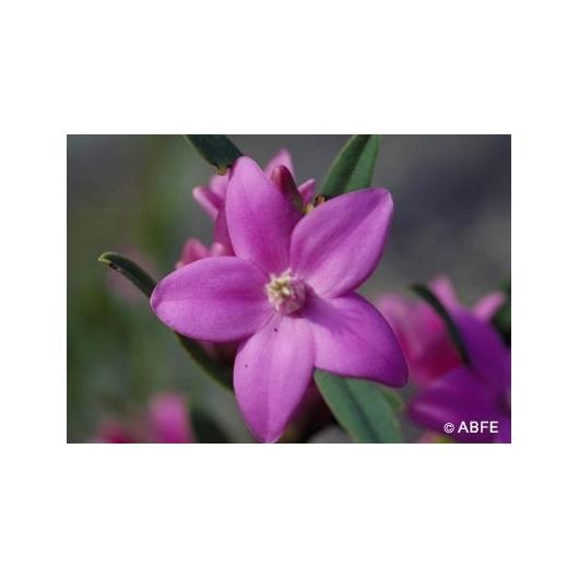 Australische Buschblüten Crowea