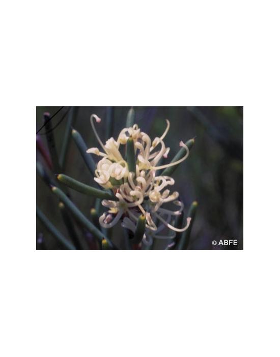 Australische Buschblüten Dagger Hakea