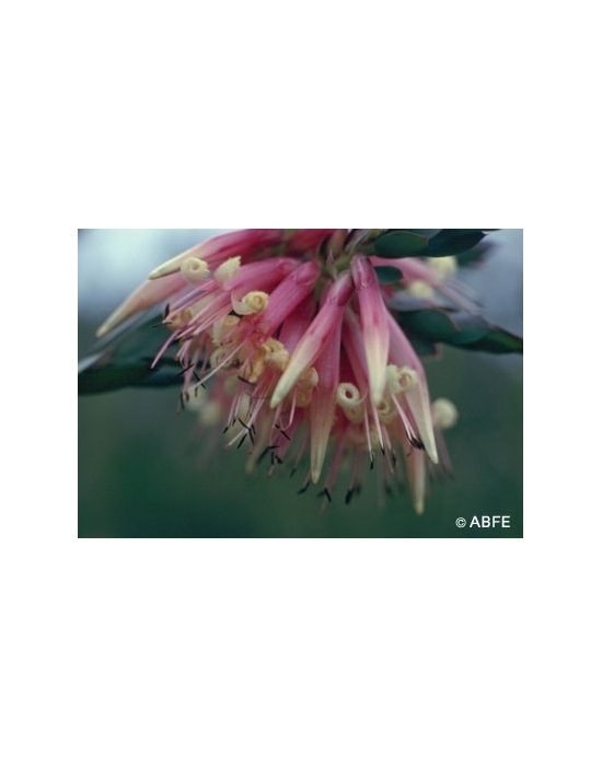 Australische Buschblüten Five Corners