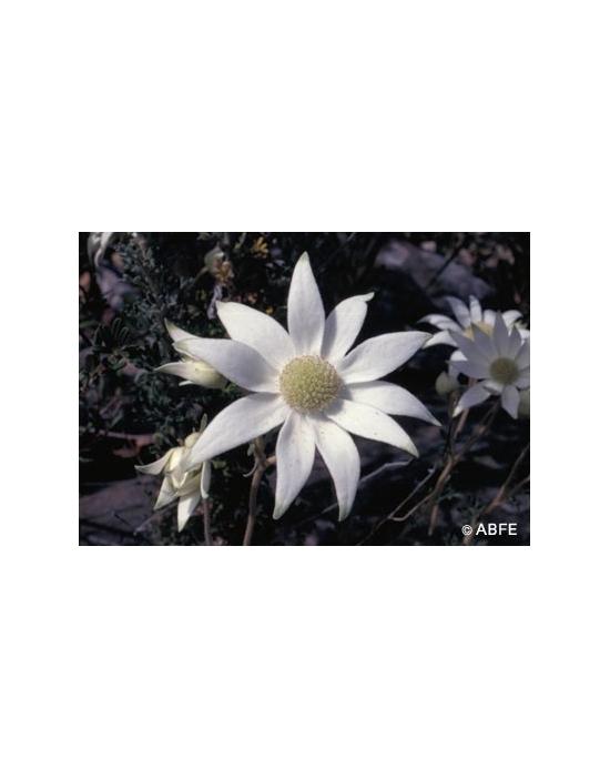 Australische Buschblüten Flannel Flower