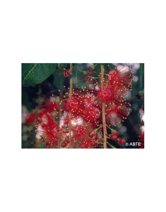Australische Buschblüten Freshwater Mangrove
