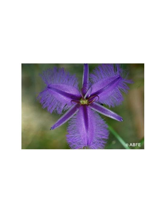 Australische Buschblüten Fringed Violett
