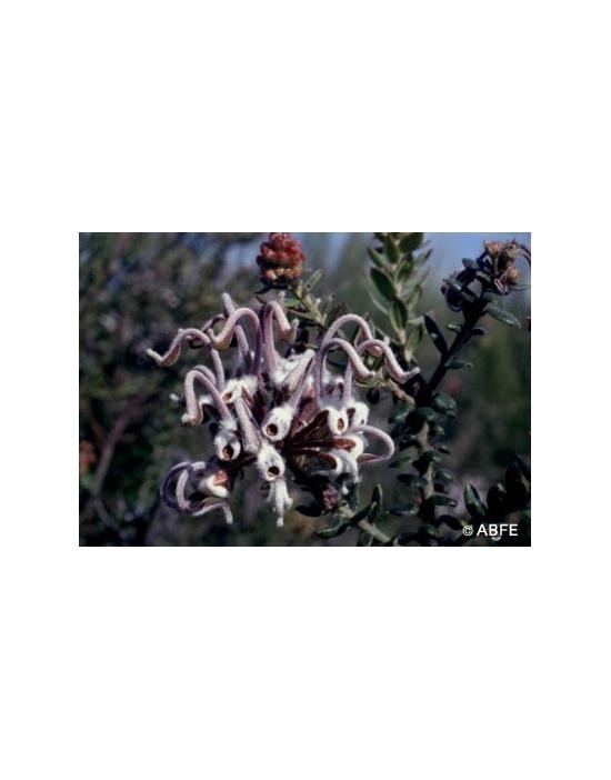 Australische Buschblüten Grey Spider Flower