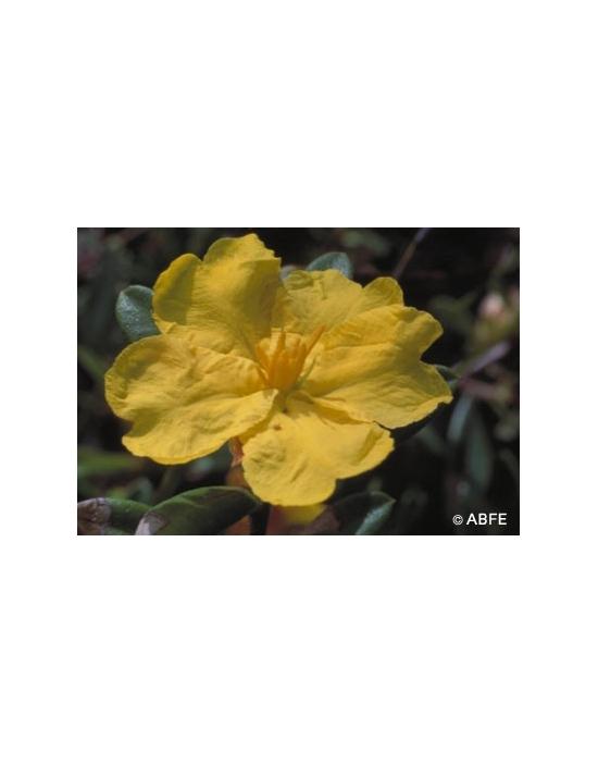 Hibbertia Flower