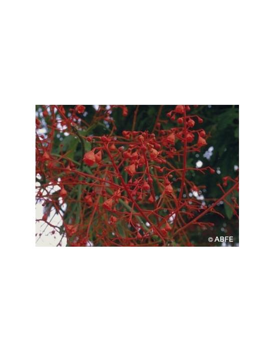 Australische Buschblüten Illawarra Flame Tree