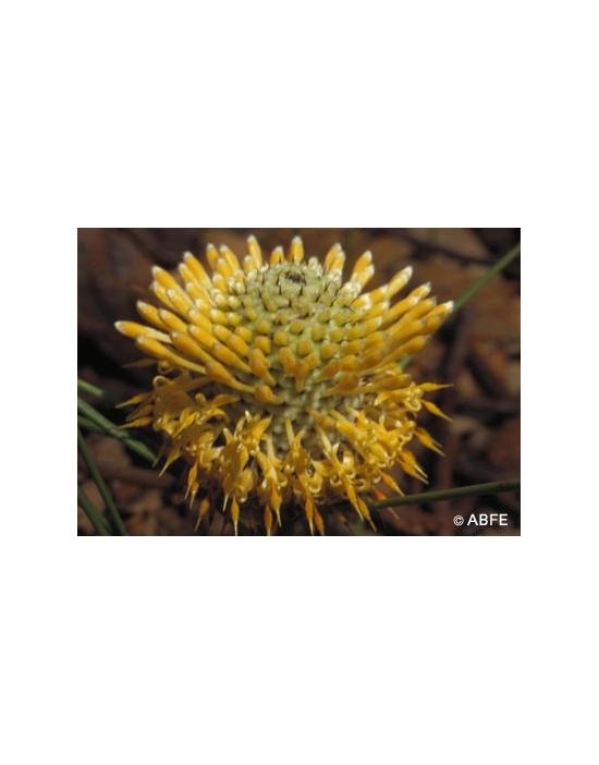Australische Buschblüten Isopogon