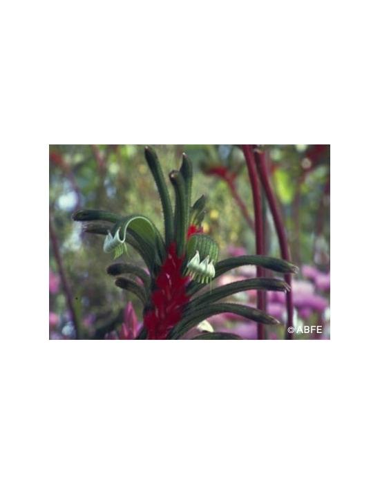 Australische Buschblüten Kangaroo Paw