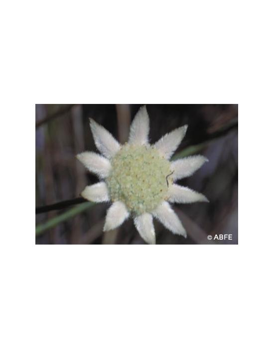 Australische Buschblüten Little Flannel Flower