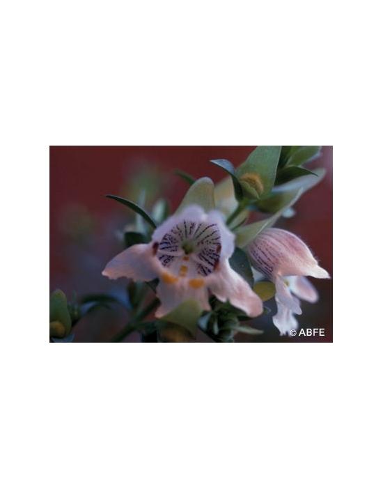 Mint Bush Flower