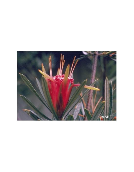 Australische Buschblüten Mountain Devil