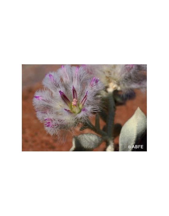 Australische Buschblüten Mulla Mulla