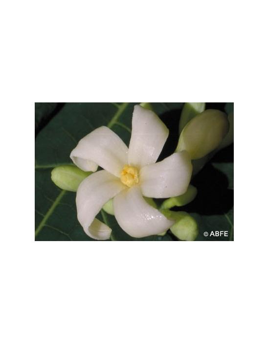 Paw Paw Flower