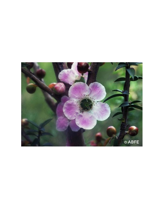Australische Buschblüten Peach Flowered Tea Tree
