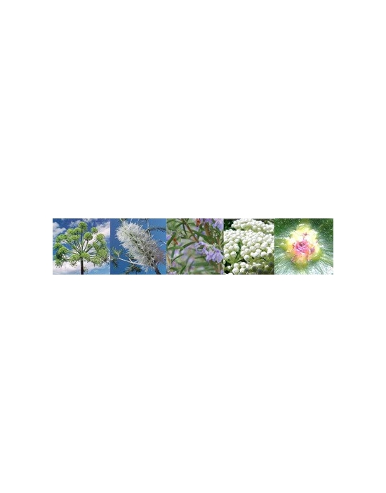 Purification Flowers Australian Flower Essences Blend