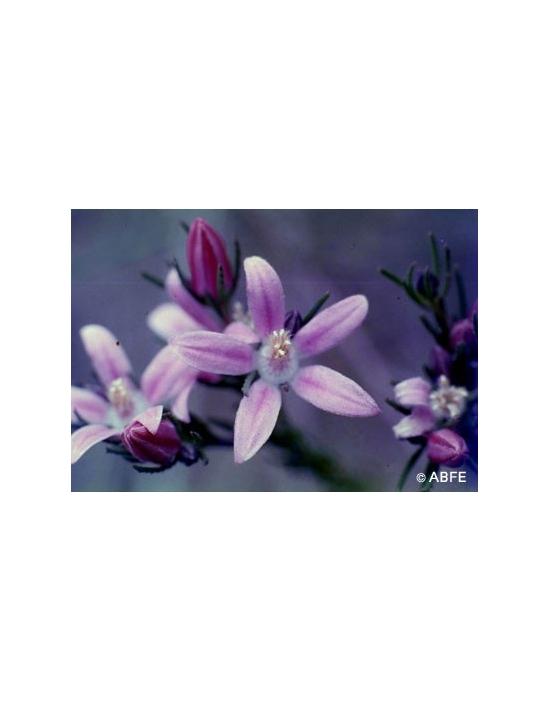 Australische Buschblüten Philotheca