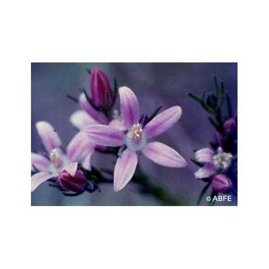 Philotheca Flower