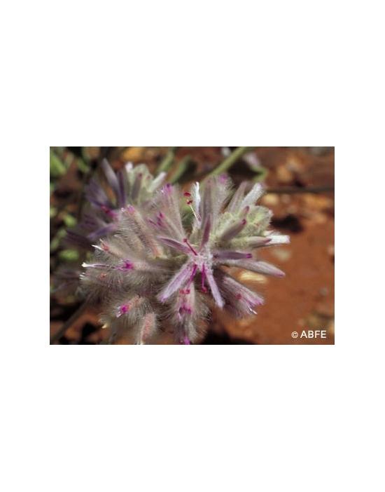 Pink Mulla Mulla Flower