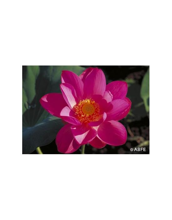 Australische Buschblüten Red Lily