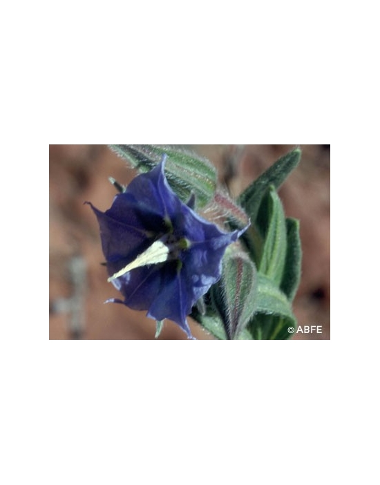 Australische Buschblüten Rough Bluebell