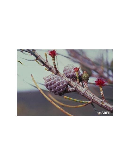 Australische Buschblüten She Oak