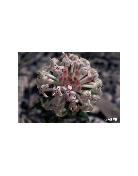 Australische Buschblüten Slender Rice Flower
