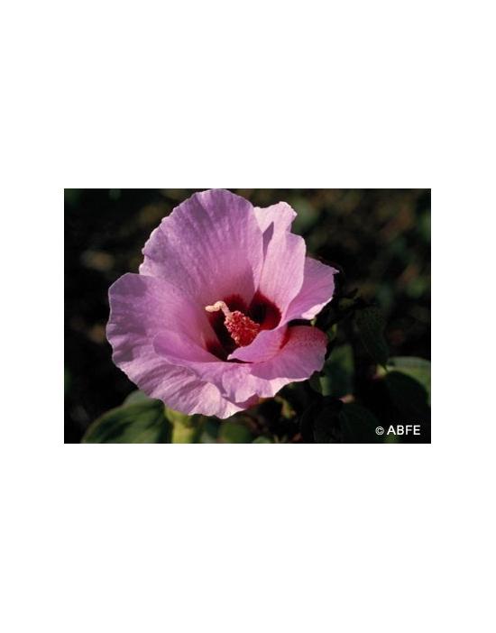 Australische Buschblüten Sturt Desert Rose