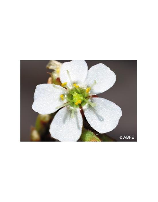 Australische Buschblüten Sundew