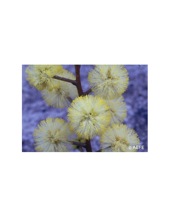 Sunshine Wattle Flower