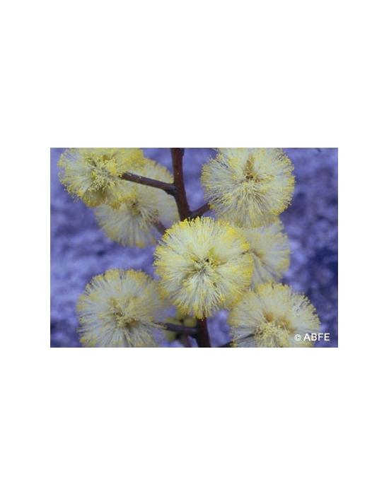 Australische Buschblüten Sunshine Wattle