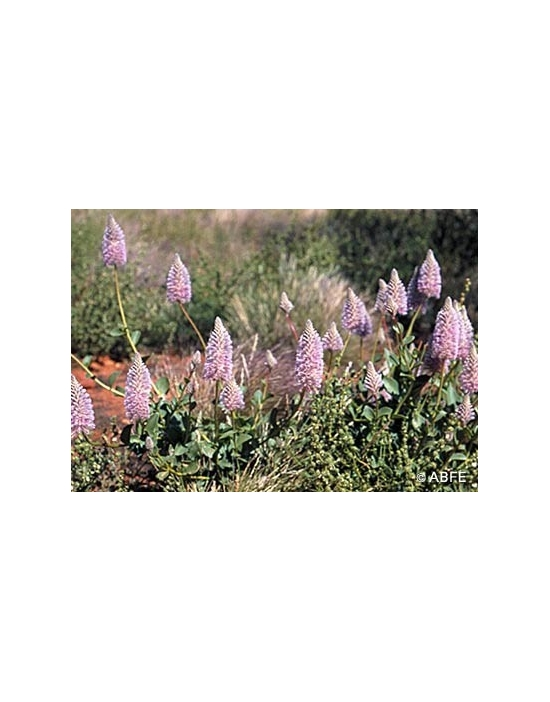 Tall Mulla Mulla Flower