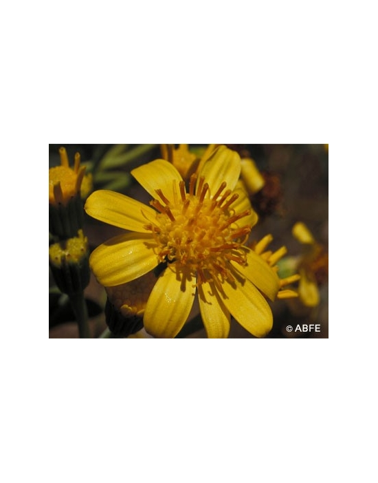 Tall Yellow Top Flower