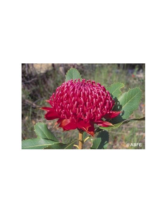 Australische Buschblüten Waratah