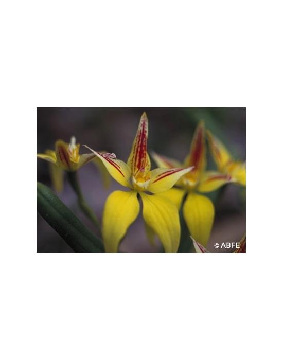 Australische Buschblüten Yellow Cowslip Orchid