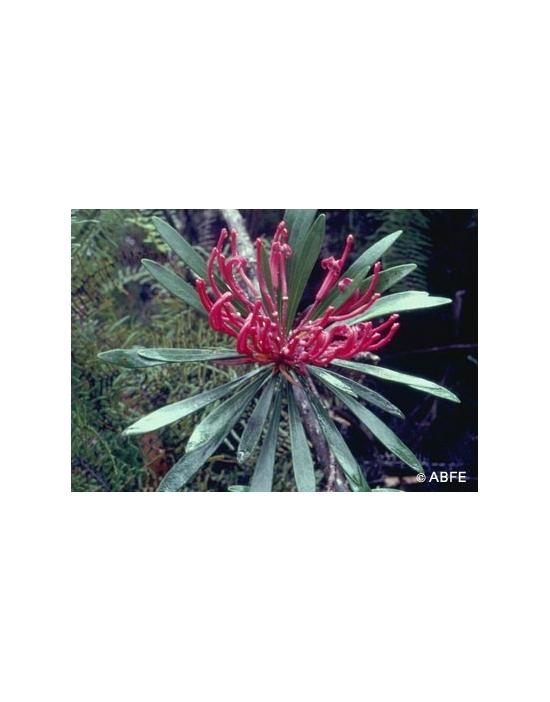 Australische Buschblüten Monga Waratah