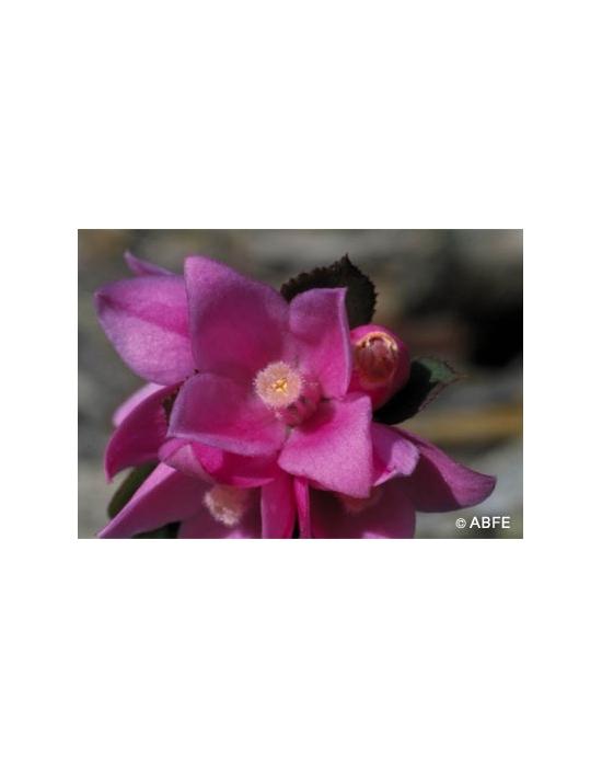 Sydney Rose Flower