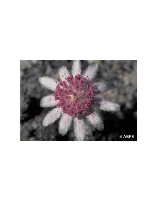 Australische Buschblüten Pink Flannel Flower
