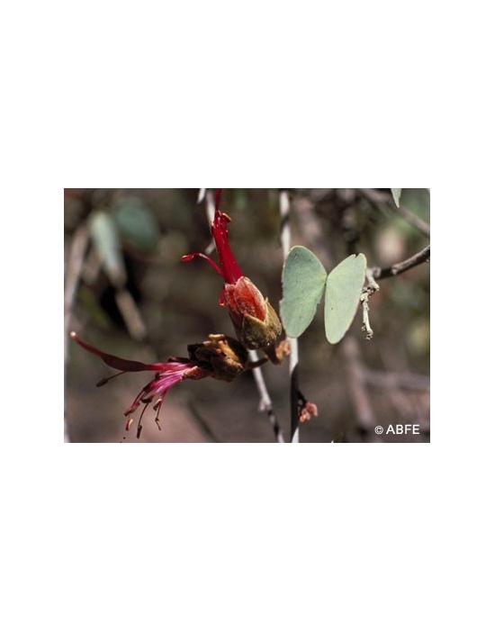 Australische Buschblüten Bauhinia